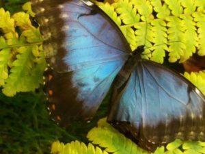 Farfalla azzurra